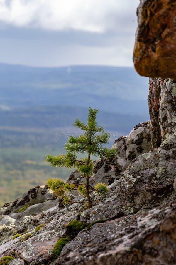 De regen drupt op de bladeren, de rooie boom op de berg royalty-vrije stock fotografie