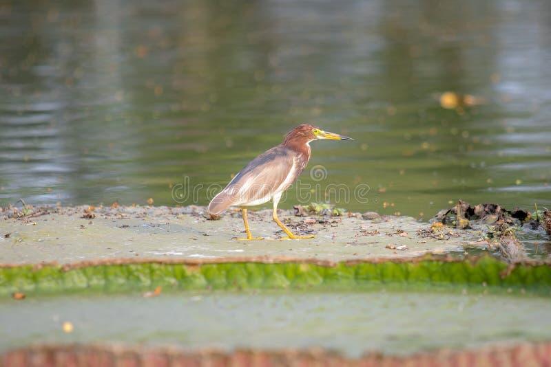 De Reigervogel die van de Javanvijver zich op het grote lotusbloemblad bevinden in meer of vijver stock fotografie