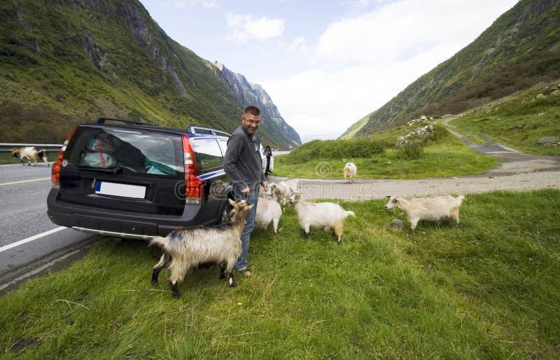 De reis van de auto in Noorwegen met geiten stock foto's