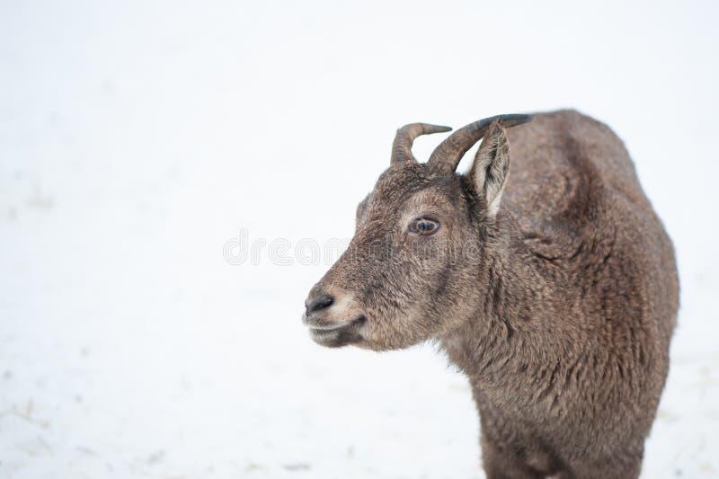 De reis vrouwelijk portret van Dagestan van een hoofed dier stock foto