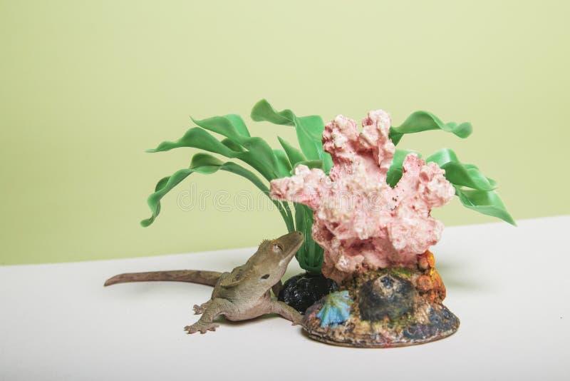 De reptile d'accessoires de gecko toujours la vie crêtée photographie stock libre de droits