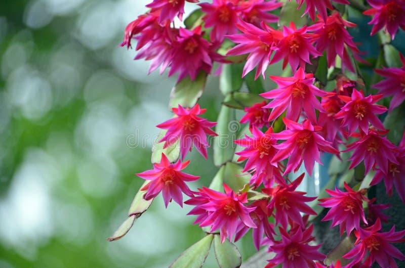 A de retour allumé les fleurs roses de Zygocactus du gaertneri de Hatiora images libres de droits