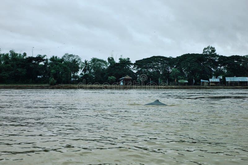 de retour d'un dauphin irrawaddy sur le Mekong entre le Cambodge et le Laos photo stock