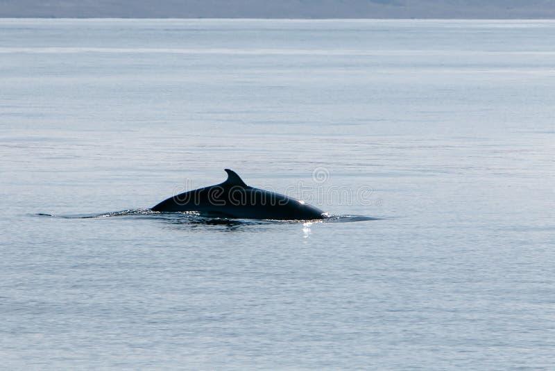 De retour d'une baleine pilote images libres de droits