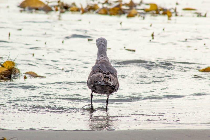 De retour d'une mouette dans l'océan photos stock
