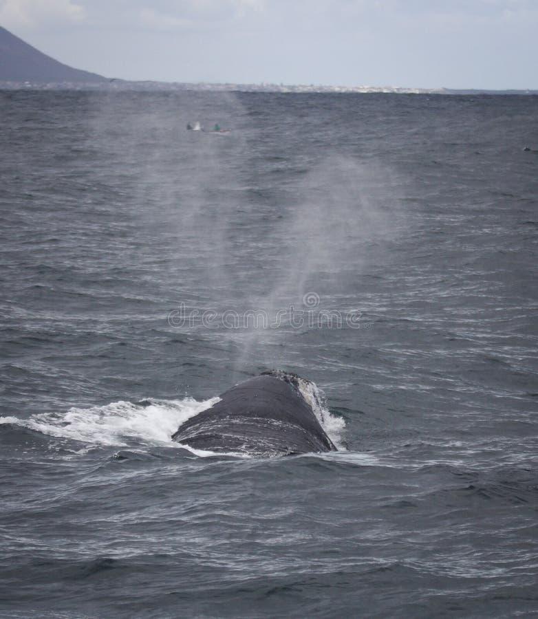 De retour d'une natation du sud de baleine droite près de Hermanus, le Cap-Occidental l'Afrique du Sud photos stock