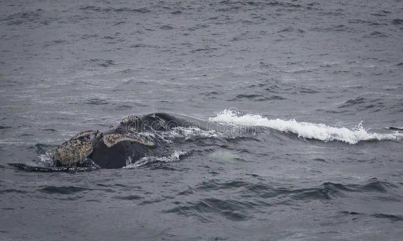 De retour d'une natation du sud de baleine droite près de Hermanus, le Cap-Occidental l'Afrique du Sud photo stock
