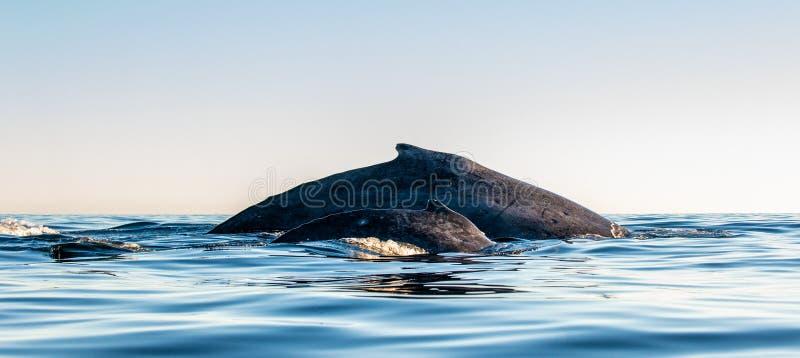 De retour de la m?re de baleine de bosse et de l'petit animal de b?b? Natation de baleine de bosse dans l'oc?an pacifique De reto image stock