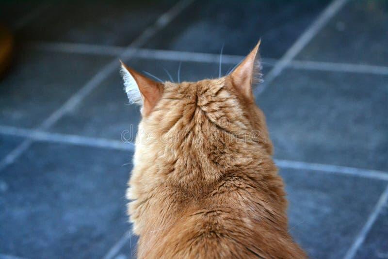 De retour de la tête orange du ` s de chat photographie stock