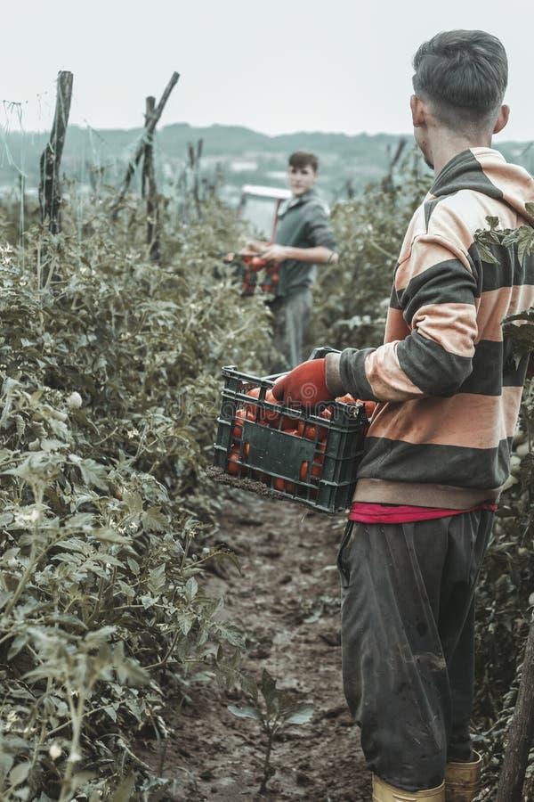 De retour de moissonner l'aide qui prenant les caisses complètement de tomates photos libres de droits