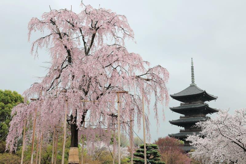 De reusachtige boom van Funi Sakura in bloesem en beroemde vijf-Verhaal Pagode in Toji-Tempel in Kyoto stock foto's