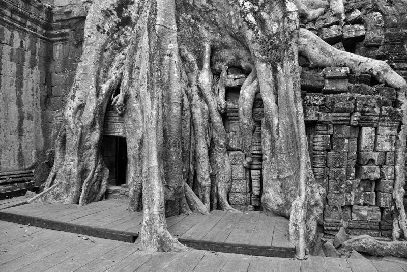 De reusachtige boomwortels overspoelen de geruïneerde tempel royalty-vrije stock afbeeldingen