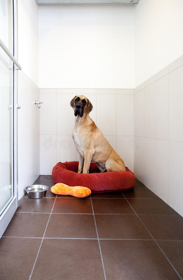 De reusachtige Grote Hond van de Deen royalty-vrije stock foto