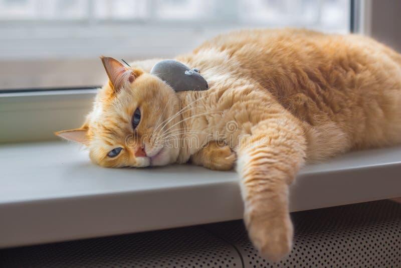 De reusachtige witte rode kat met blauwe ogen en lang haar ligt lui op vensterbank in flat naast grijs stuk speelgoed mousev stock afbeelding