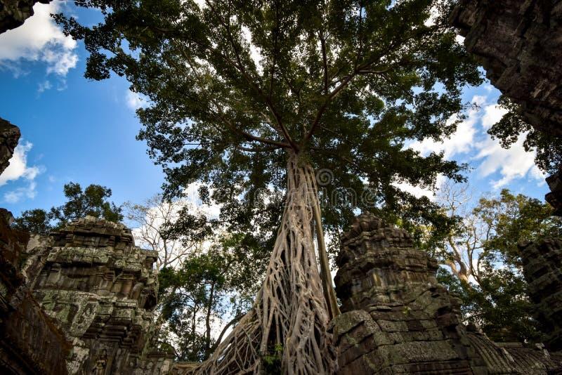 De reuze anyan boom die Ta Prom en de tempel van Angkor Wat, Siem behandelen oogst, Kambodja stock afbeelding