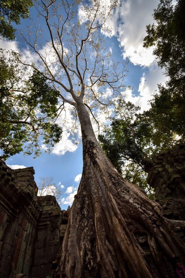 De reuze anyan boom die Ta Prom en de tempel van Angkor Wat, Siem behandelen oogst, Kambodja stock afbeeldingen