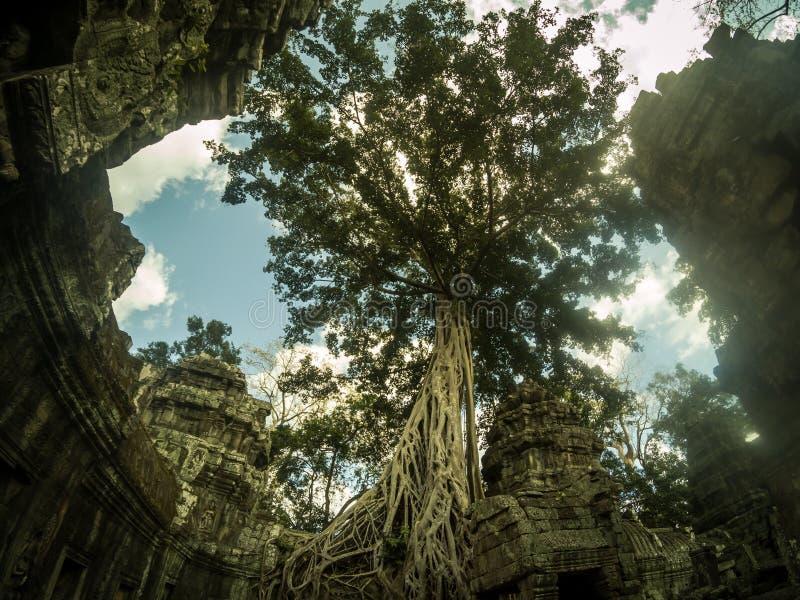 De reuze anyan boom die Ta Prom en de tempel van Angkor Wat, Siem behandelen oogst, Kambodja stock fotografie