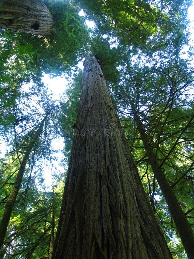 De reuze Bomen van de Californische sequoia stock foto