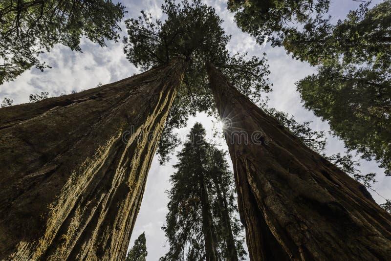 De reuze Bomen van de Sequoia stock foto's