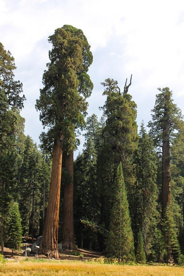 De reuze Bomen van de Sequoia stock fotografie