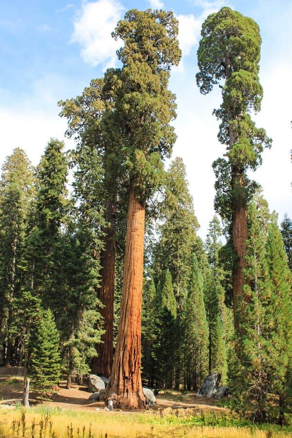 De reuze Bomen van de Sequoia royalty-vrije stock afbeelding