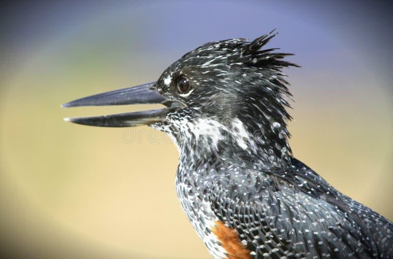 De reuze close-up van de Ijsvogel stock fotografie