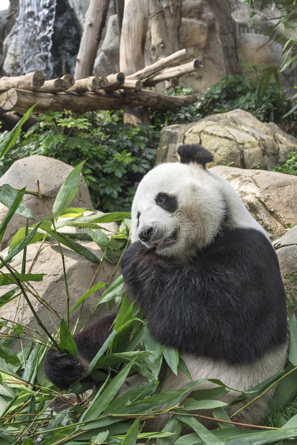 De reuze panda draagt stock foto's