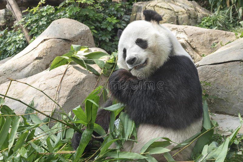 De reuze panda draagt stock afbeeldingen