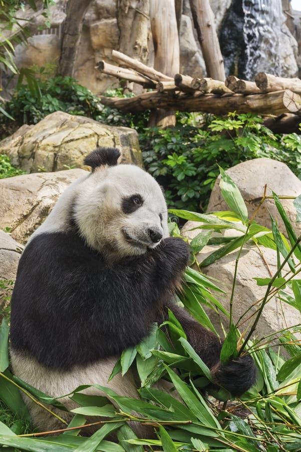 De reuze panda draagt stock afbeelding