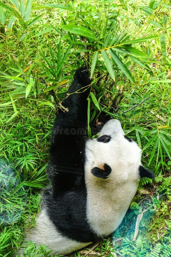 De reuze panda draagt etend bamboe stock fotografie
