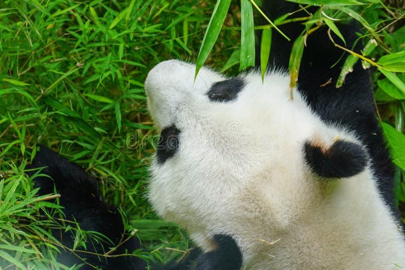 De reuze panda draagt etend bamboe royalty-vrije stock afbeeldingen