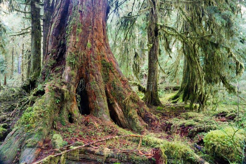 De reuze Rode Cedar Tree Stump Moss Covered-Groei Hoh Rainforest royalty-vrije stock afbeelding