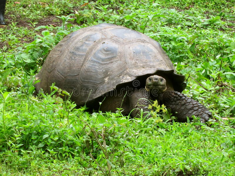 De reuze schildpad van de Galapagos stock afbeelding