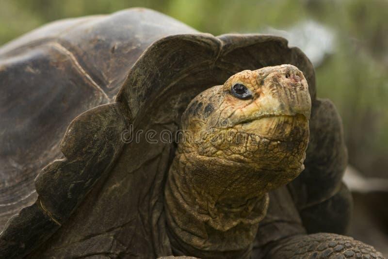 De reuze Schildpad van de Galapagos royalty-vrije stock foto's