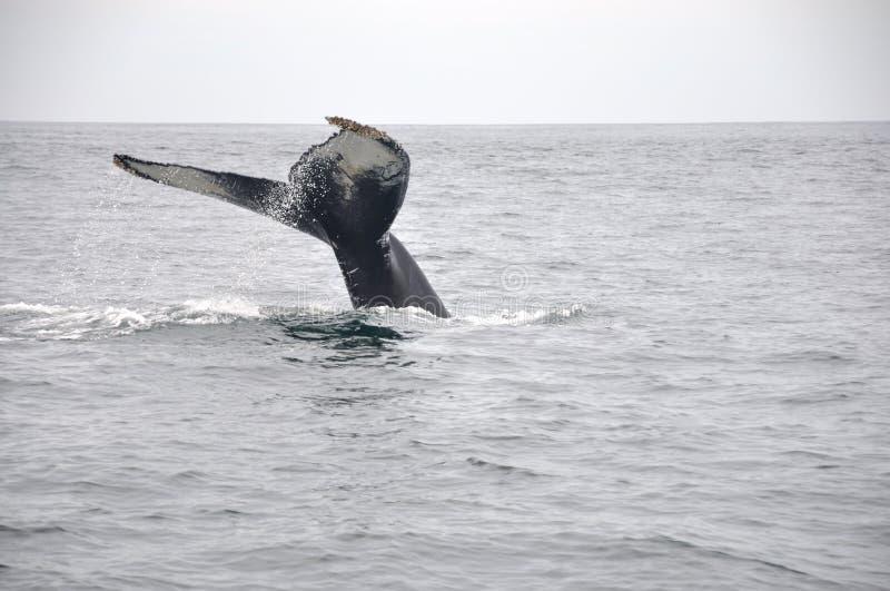 De reuze Staart van de Walvis stock afbeelding