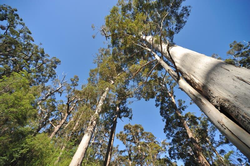 De reuzeboom van de Tinteling van westelijk Australië stock fotografie