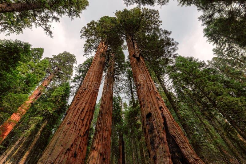 De reuzeclose-up van de sequoia'sboom in Sequoia nationaal Park royalty-vrije stock foto's