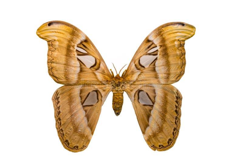 De reuzedieMot van de vlinderatlas op witte achtergrond wordt geïsoleerd stock afbeelding