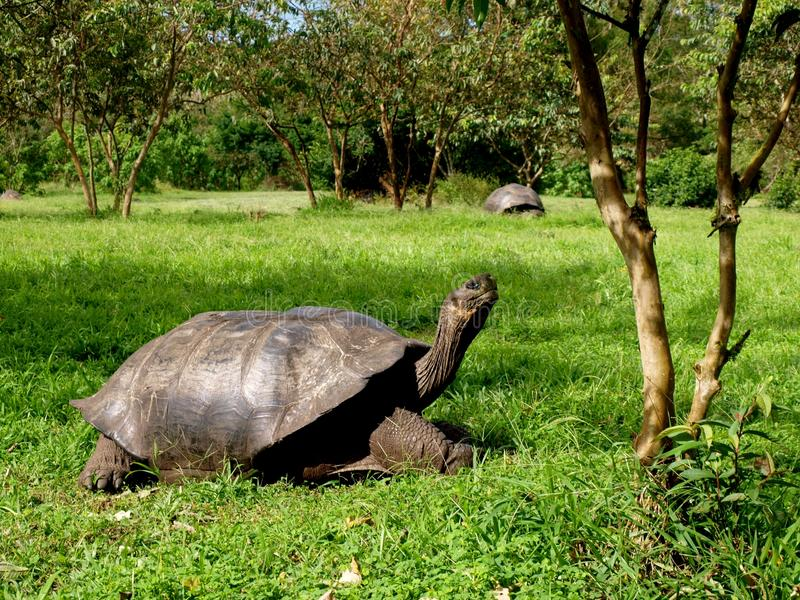 De reuzeeilanden van de schildpadgalapagos stock fotografie