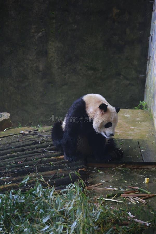 De reuzepanda behoort tot de enige zoogdieren van de carnivoren, de beerfamilie, de reuzepanda subfamily en de reuzepanda E stock fotografie