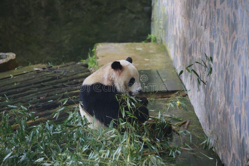 De reuzepanda behoort tot de enige zoogdieren van de carnivoren, de beerfamilie, de reuzepanda subfamily en de reuzepanda E royalty-vrije stock foto's