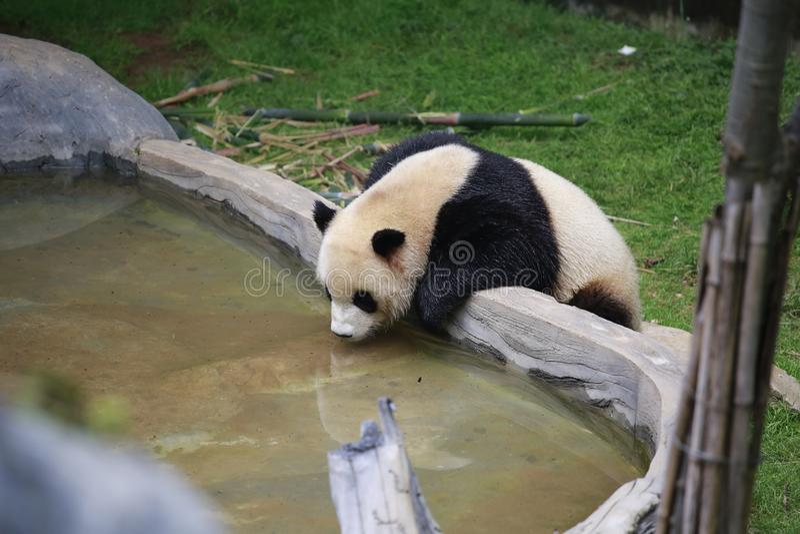 De reuzepanda behoort tot de enige zoogdieren van de carnivoren, de beerfamilie, de reuzepanda subfamily en de reuzepanda E stock foto's