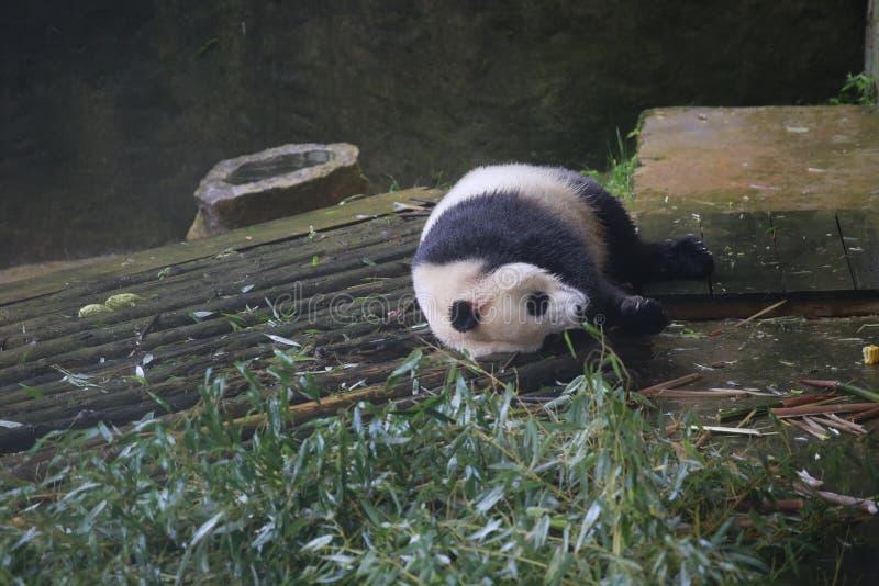 De reuzepanda behoort tot de enige zoogdieren van de carnivoren, de beerfamilie, de reuzepanda subfamily en de reuzepanda E royalty-vrije stock fotografie