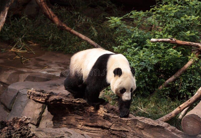 De reuzepanda draagt Ailuropoda-melanoleuca royalty-vrije stock foto's
