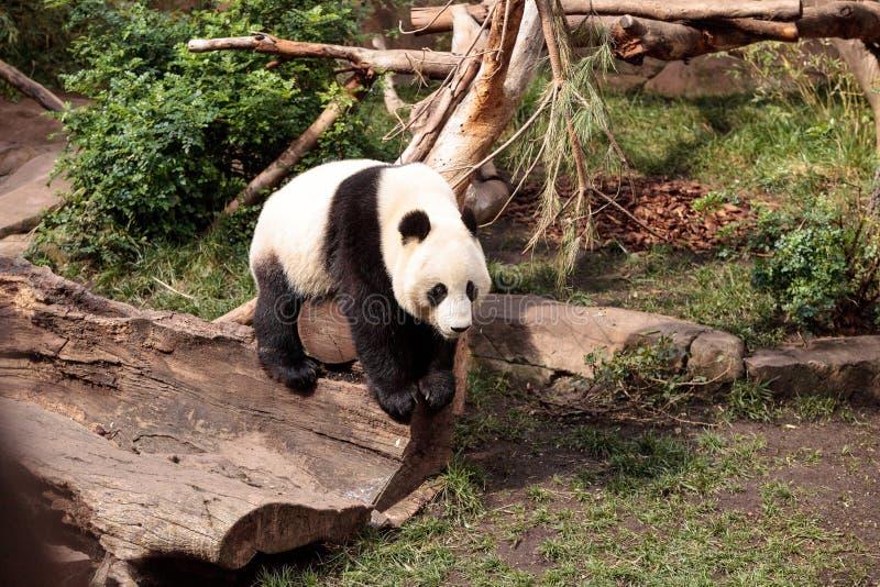 De reuzepanda draagt Ailuropoda-melanoleuca royalty-vrije stock afbeelding