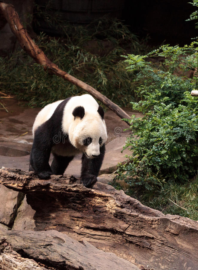 De reuzepanda draagt Ailuropoda-melanoleuca royalty-vrije stock fotografie