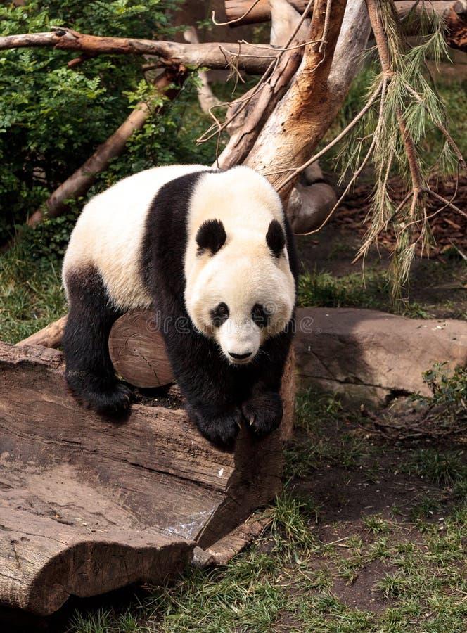 De reuzepanda draagt Ailuropoda-melanoleuca stock fotografie