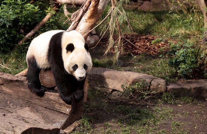 De reuzepanda draagt Ailuropoda-melanoleuca stock foto's