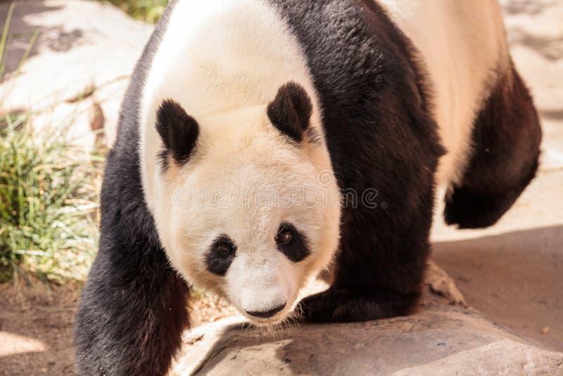 De reuzepanda draagt gekend als Ailuropoda-melanoleuca stock foto's