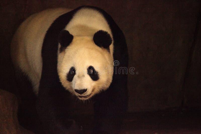 De reuzepanda draagt gekend als Ailuropoda-melanoleuca royalty-vrije stock fotografie